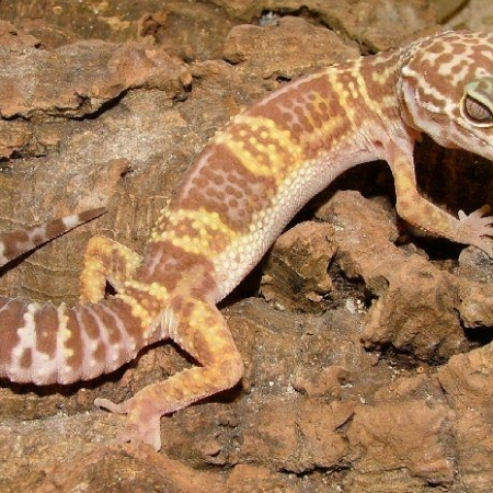 chocolate albino leopard gecko for sale
