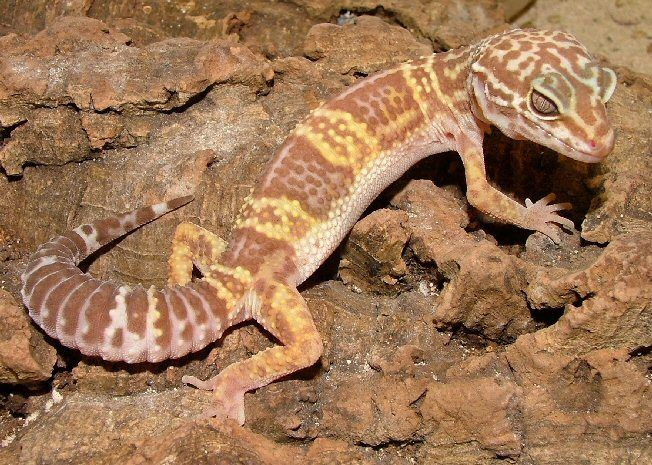 Chocolate Albino Leopard Gecko For Sale Online Baby