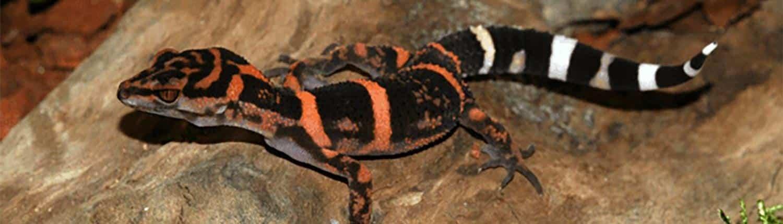 japanese cave geckos for sale
