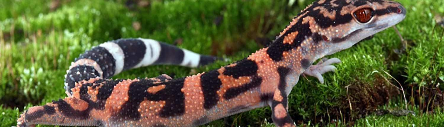 japanese cave gecko for sale