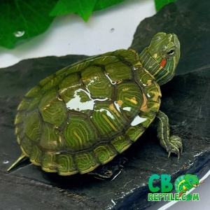baby red ear slider turtle