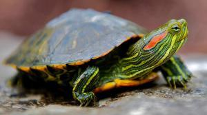 red eared slider turtle for sale