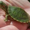 red ear slider turtle for sale