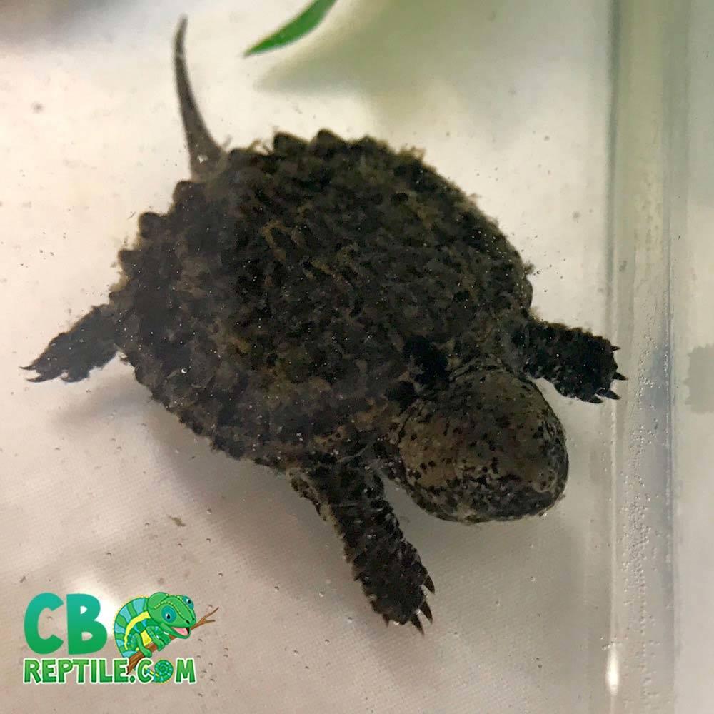Snapping Turtle Cb Reptile Geckos For Sale Chameleons For Sale Ball Pythons Tegus Skinks