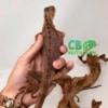 red iguana hatchling for sale