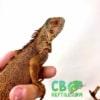 baby red iguana