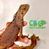 baby red iguana for sale