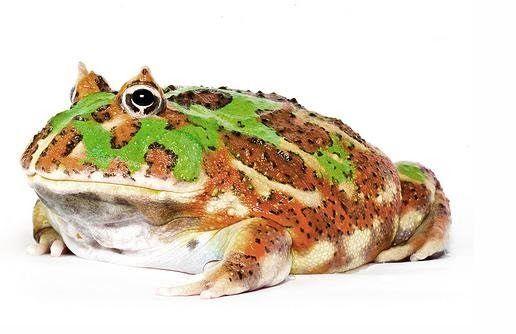 camo pacman frog