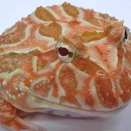 apricot pacman frog for sale