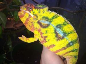 panther chameleon substrate