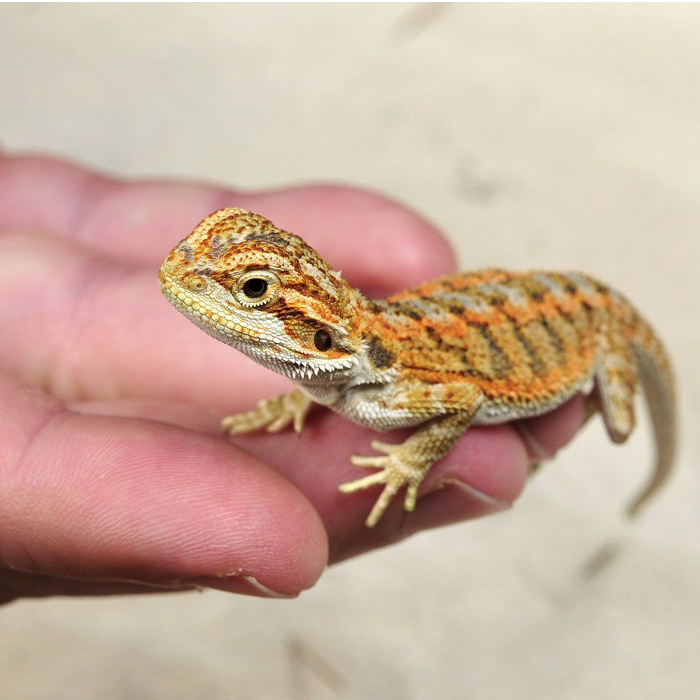 bearded lizard as pets