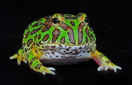 green pacman frog for sale
