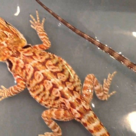 leatherback bearded dragon for sale