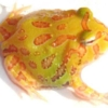 lemon albino pacman frog for sale