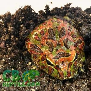 ornate pacman frog for sale