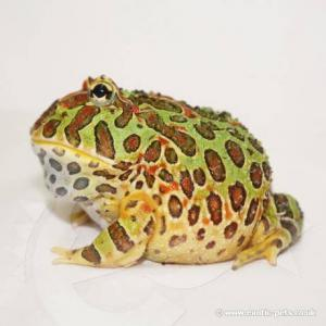 pacman frog for sale