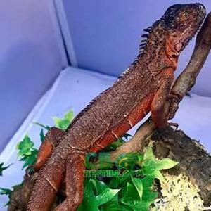 red iguanas for sale