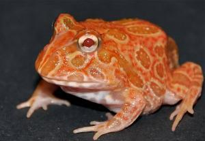 strawberry pineapple pacman frog for sale