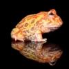 sunburst pacman frog for sale