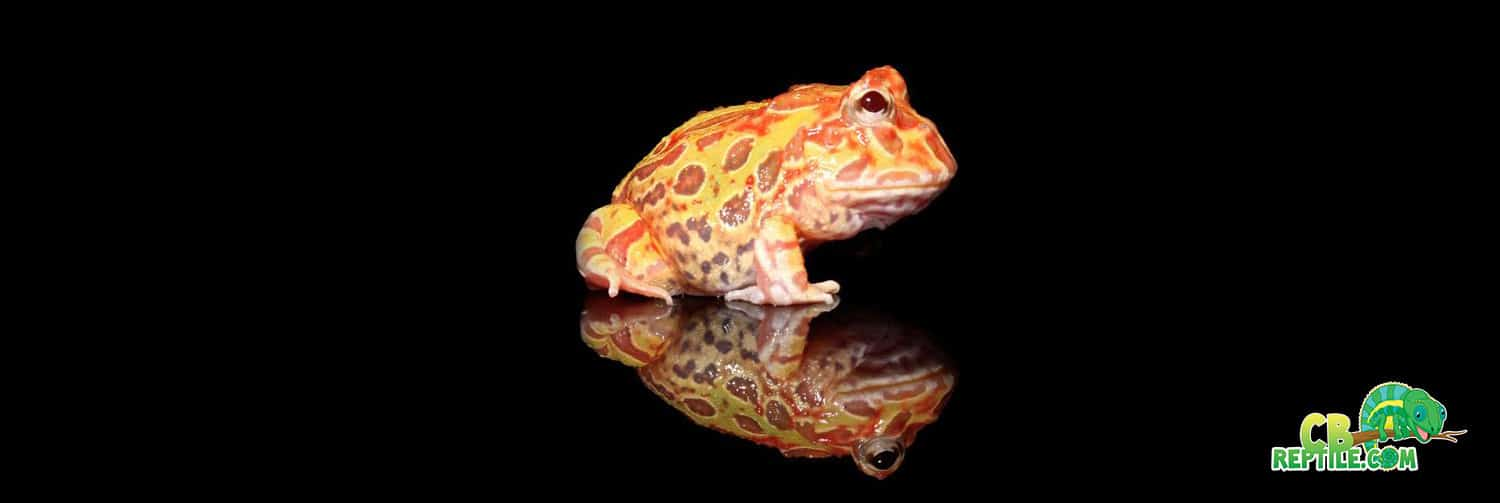 Sunburst Pacman Frog For Sale Online Baby Sunburst Pacman Frogs