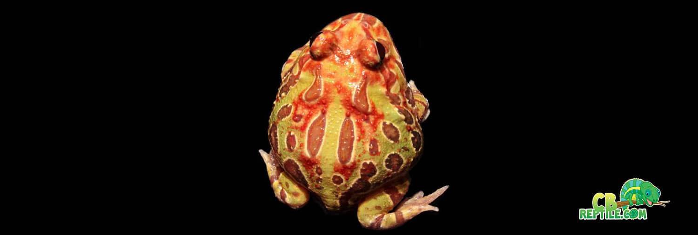Sunburst Pacman Frog For Sale Online Baby Sunburst Pacman