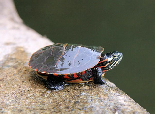 baby painted turtle for sale