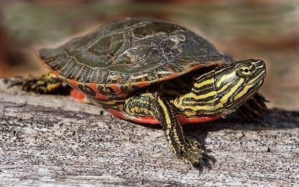 western painted turtle for sale