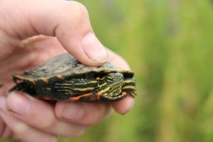 baby eastern painted turtle