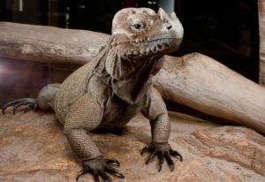 baby rhino iguana for sale