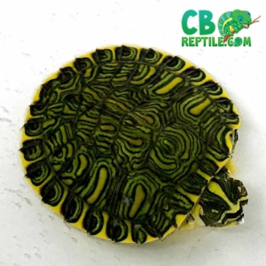 baby yellow bellied slider turtles