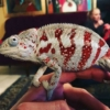 cap est panther chameleons for sale