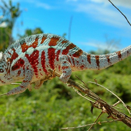 Cap Est Panther Chameleon for sale