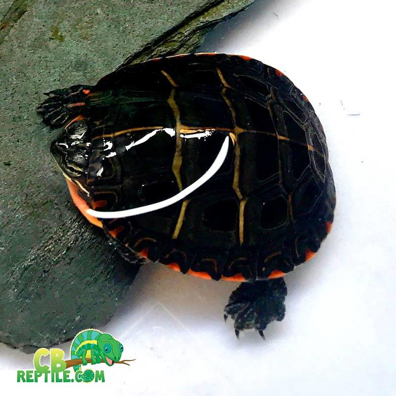 Eastern painted turtles for sale online baby painted ...
