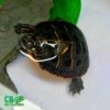Eastern painted turtles for sale