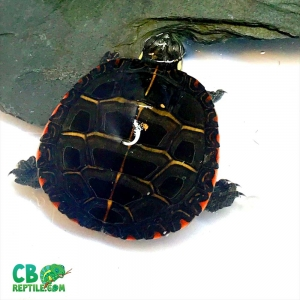 Eastern painter turtle for sale
