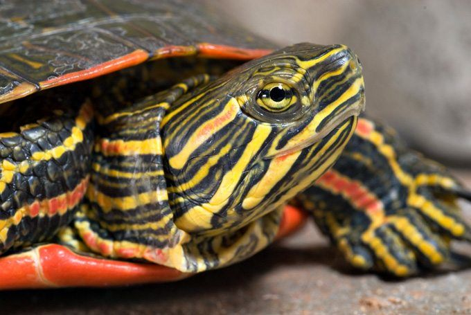 eastern painted turtle for sale