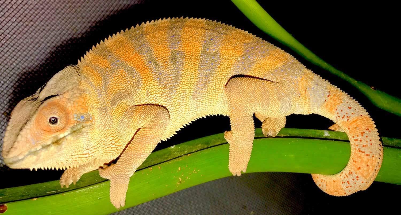 Female Panther Chameleon Color Cb Reptile Geckos For Sale Chameleons For Sale Ball Pythons Tegus Skinks