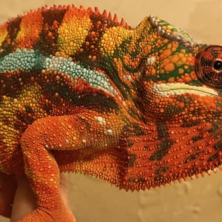 Sambava panther chameleon