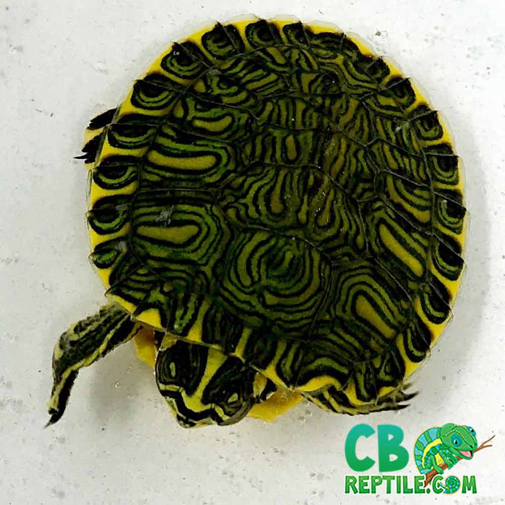 Yellow bellied slider turtle for sale online baby yellow ...