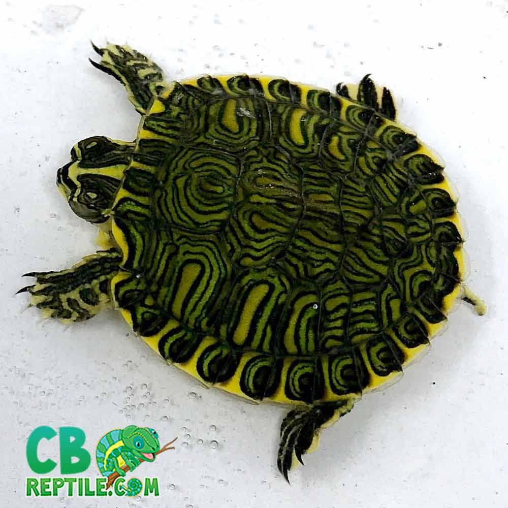 Yellow Bellied Slider Turtle For Sale Online Baby Yellow Belly Slider Turtles For Sale Online Buy Slider Turtle For Sale Near Me Turtle Farm Turtle Store