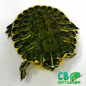 yellow slider turtle