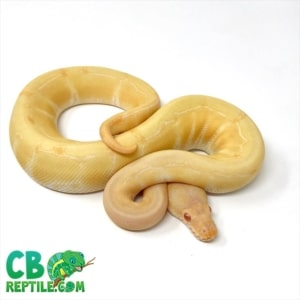 Albino pinstripe ball python for sale