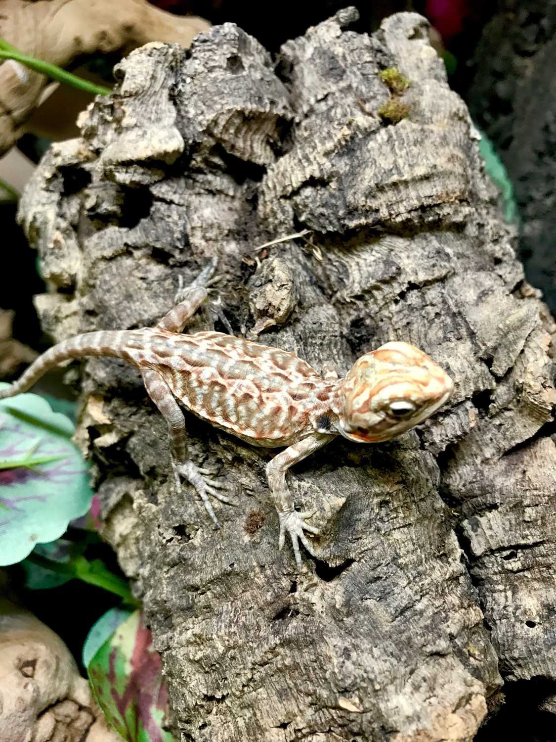 silkie bearded dragon for sale