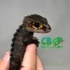 baby Tribolonotus gracilis