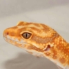 Firewater Leopard gecko for sale