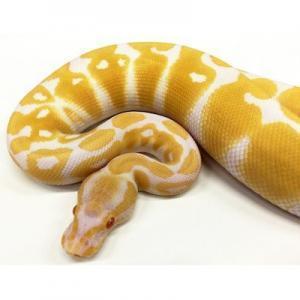 albino ball python breeder