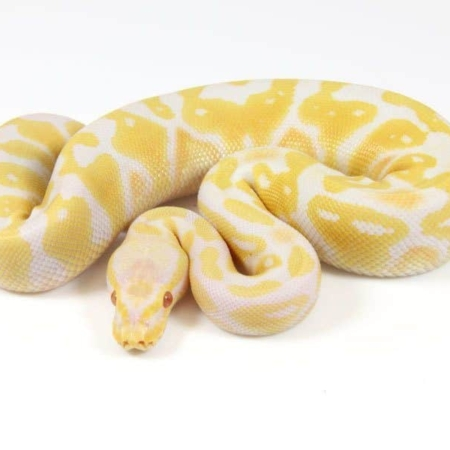 Albino Pastel Ball Python for sale