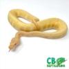 Albino pin stripe ball python