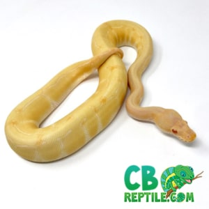 Albino pin striped ball python