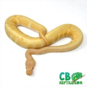 albino pinstripe ball pythons for sale